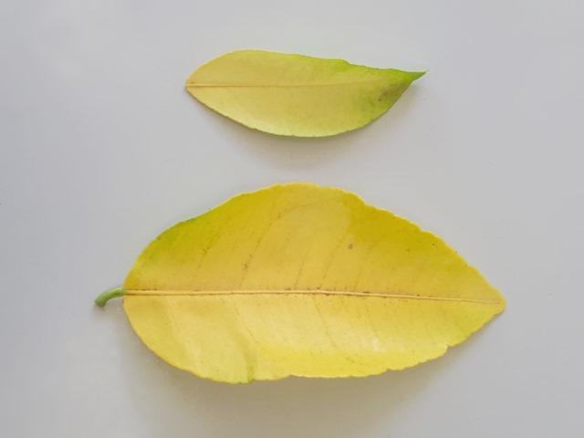 lemon tree yellow leaves